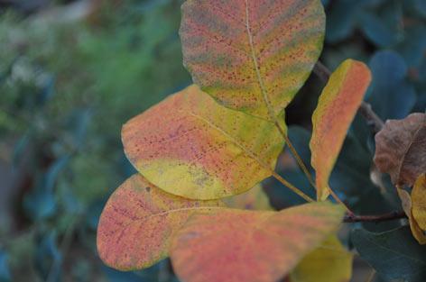 スモークツリーの紅葉.jpg